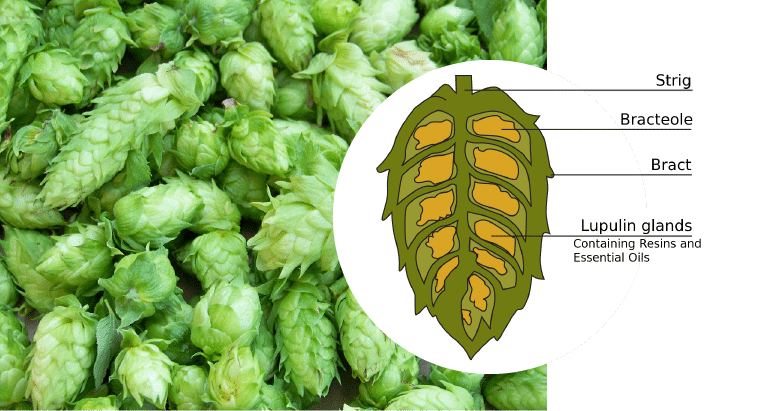 Health Benefits of Craft Beer | Hop female flower Humulus Lupulus L.